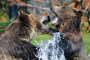 grizzly-210996_640